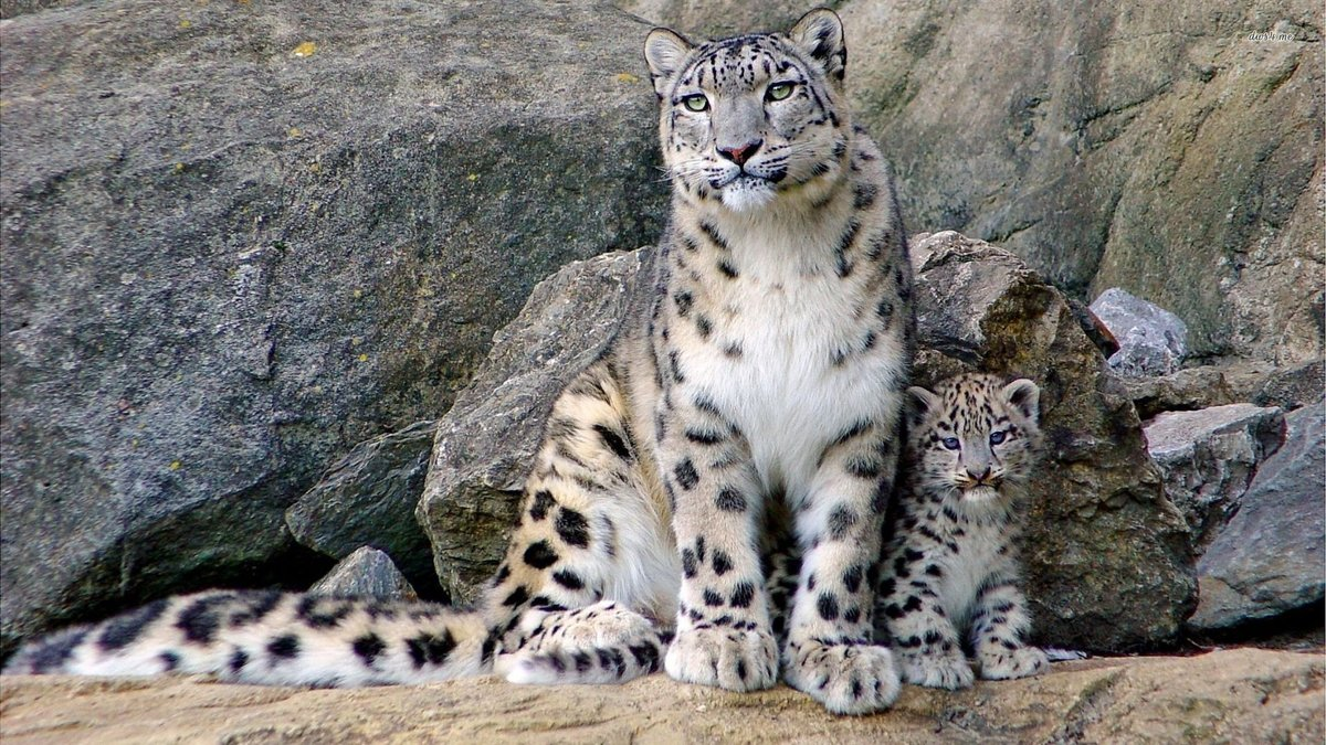 Baby Snow Leopard Wallpapers Wallpaper Cave Card From User