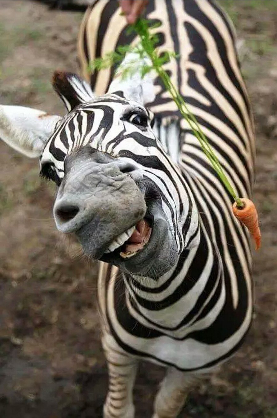 Прикольные картинки про зебр