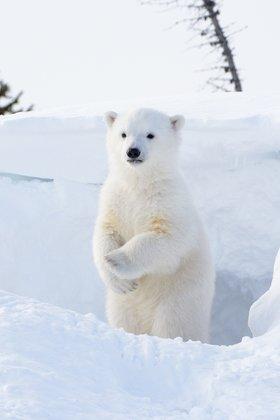 Встреча с весной, AndreAnita для «Fotodom.ru».  Белый медвежонок вылез из берлоги в национальном парке Вапуск, Канада.