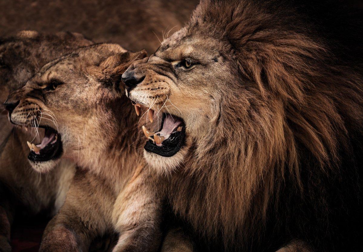 Профессиональными праздниками, картинки львов красивые