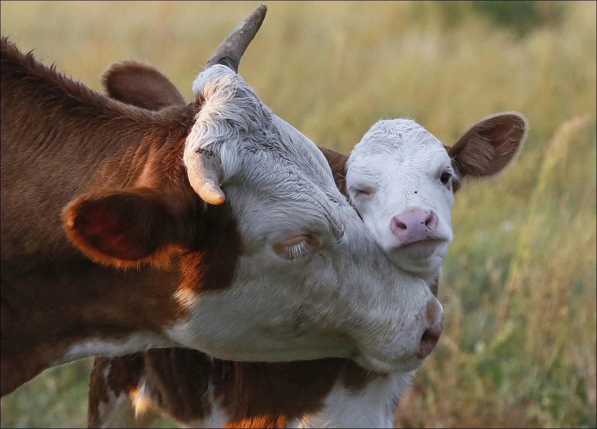 Видео открытки, прикольные картинки с сельскохозяйственными животными