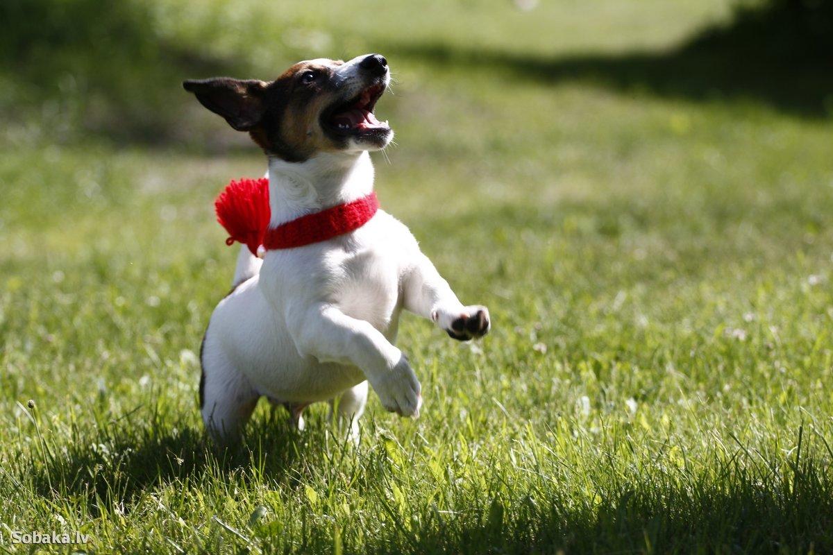 Смотреть фото собак джек рассел терьер