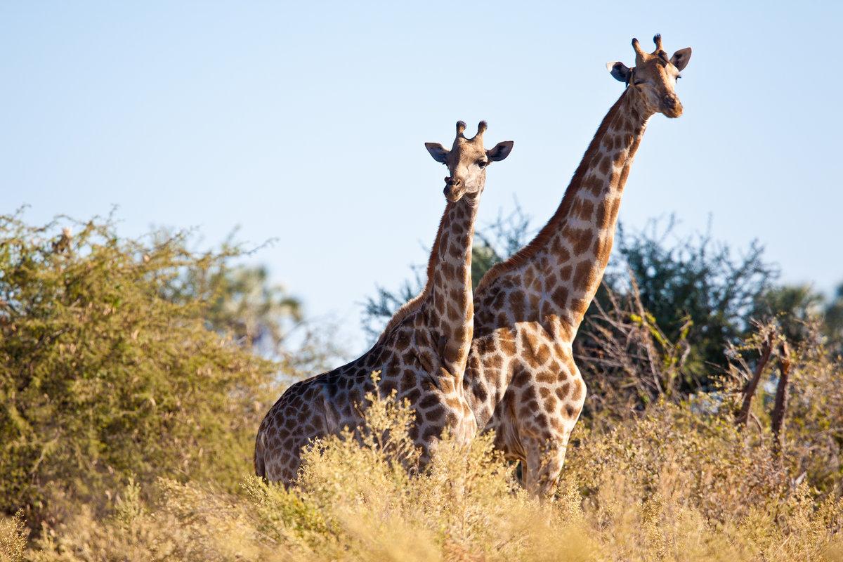 картинки самка жирафа добывали горах
