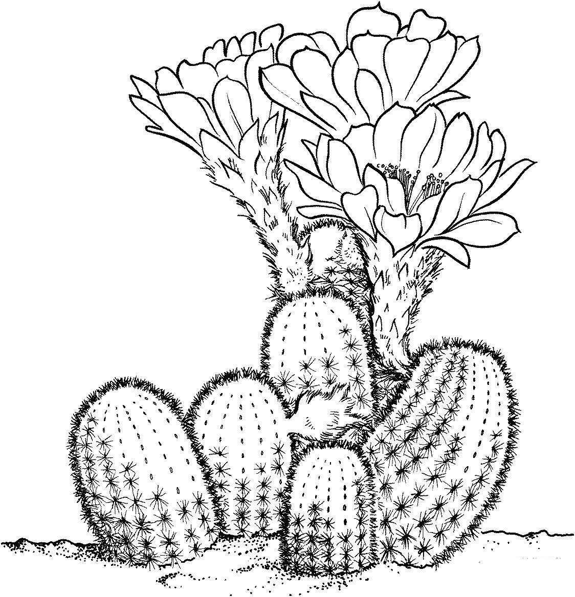 раскраска кактус в горшке можно