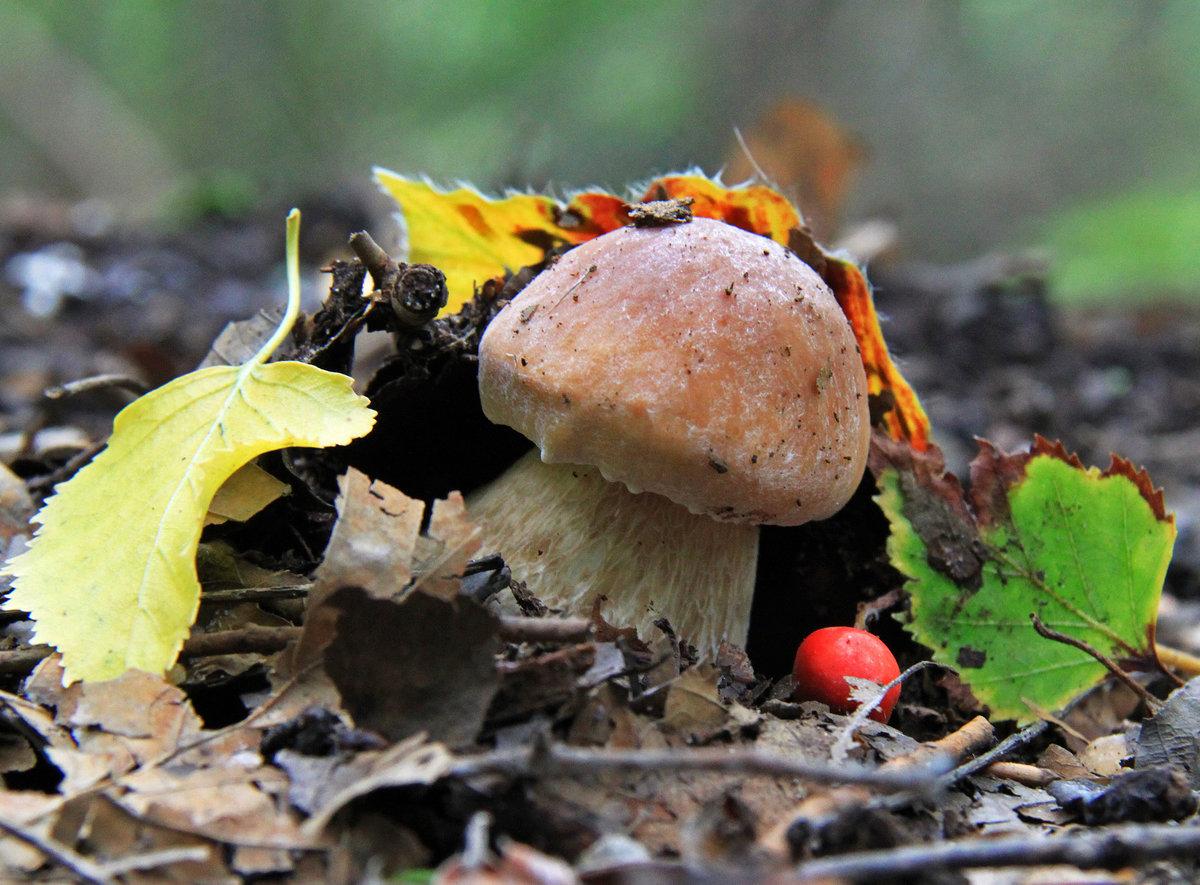 картинка осеннего леса с грибами и ягодами чтобы клубника