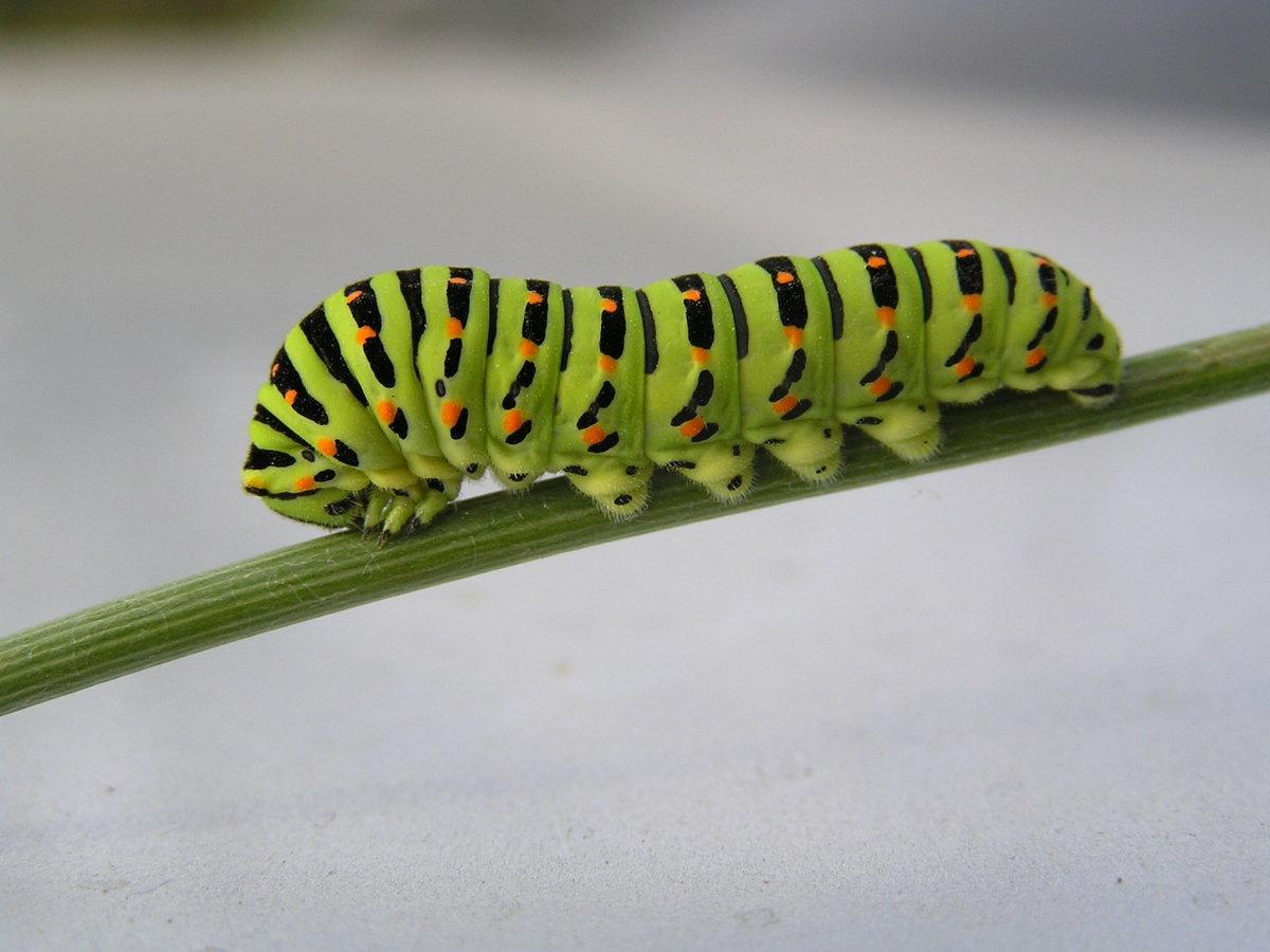 фото из каких гусениц появляются махаоны фото знаю какое должно