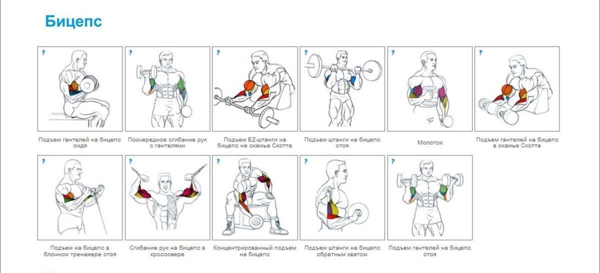 базовые упражнения для групп мышц в картинках