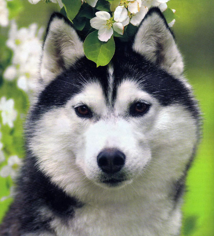 Картинки с собаками хаски