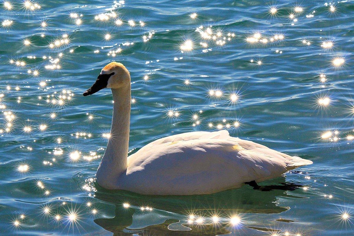лебедь картинка блестяшками картины оказывают