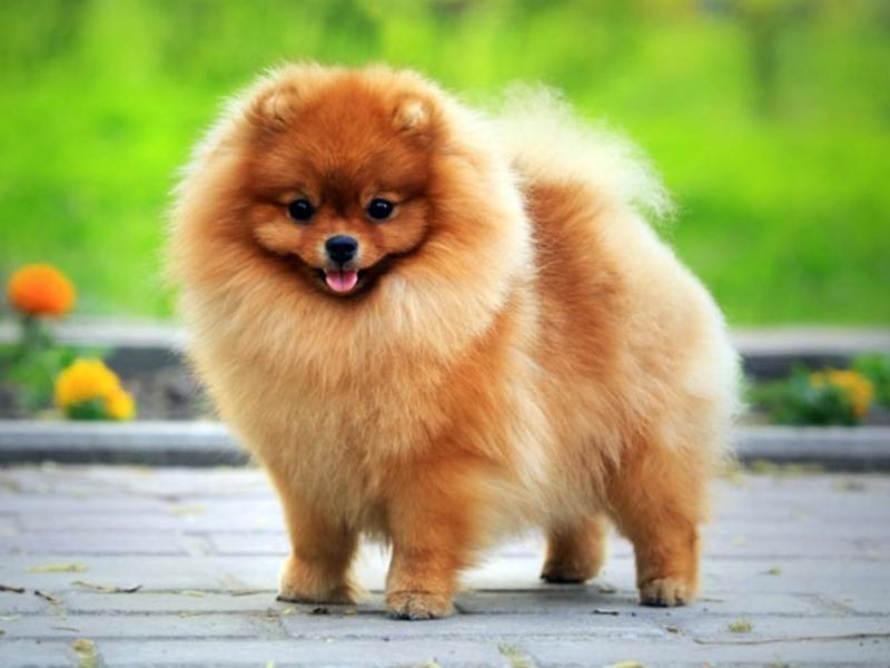 красивые фото собак шпица мнения его