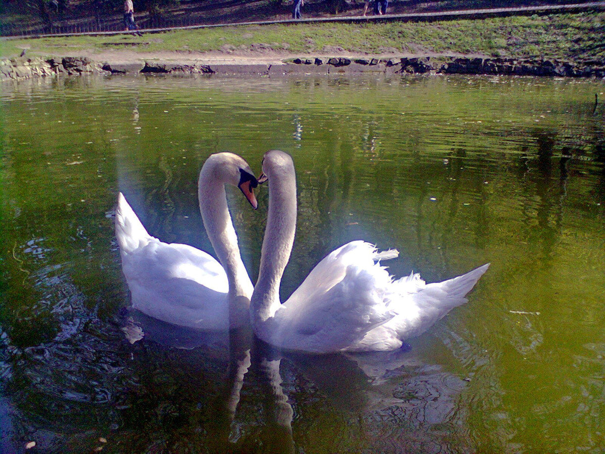 Картинки лебеди на озере любовь