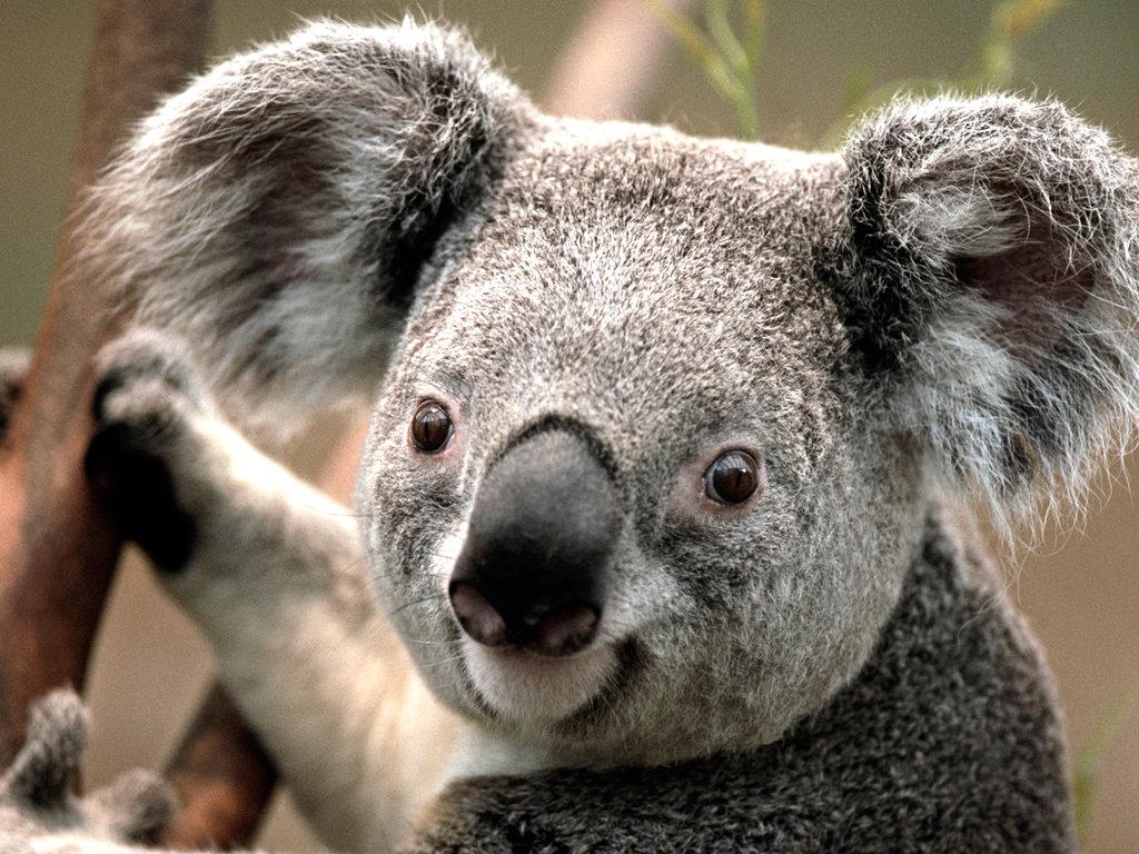 Прикольные картинки коала