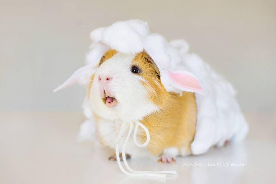 картинки морских свинок в одежде милые сегодняшний день