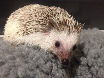 94e27c2b8552 Pygmy Hedgehog 11 month old Male with Cage Newcastle Upon Ty