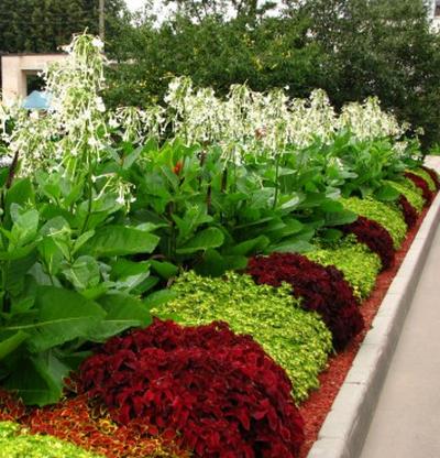 Колеусы выращивают в комнатной культуре, а также в качестве однолеÑ'Ð½Ð¸Ñ Ñ€Ð°ÑÑ'ений в саду. В саду обычно используют более выносливые мелколистные формы.