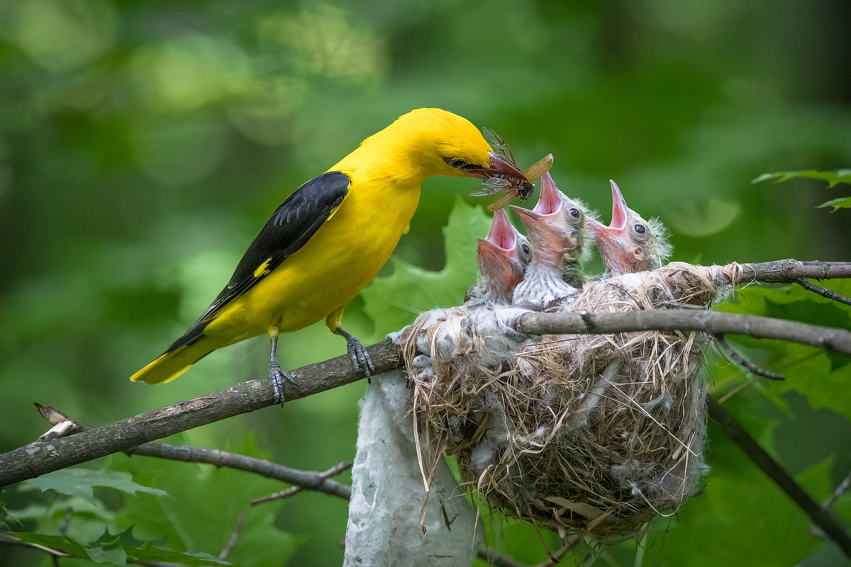 Иволга гнездо картинка