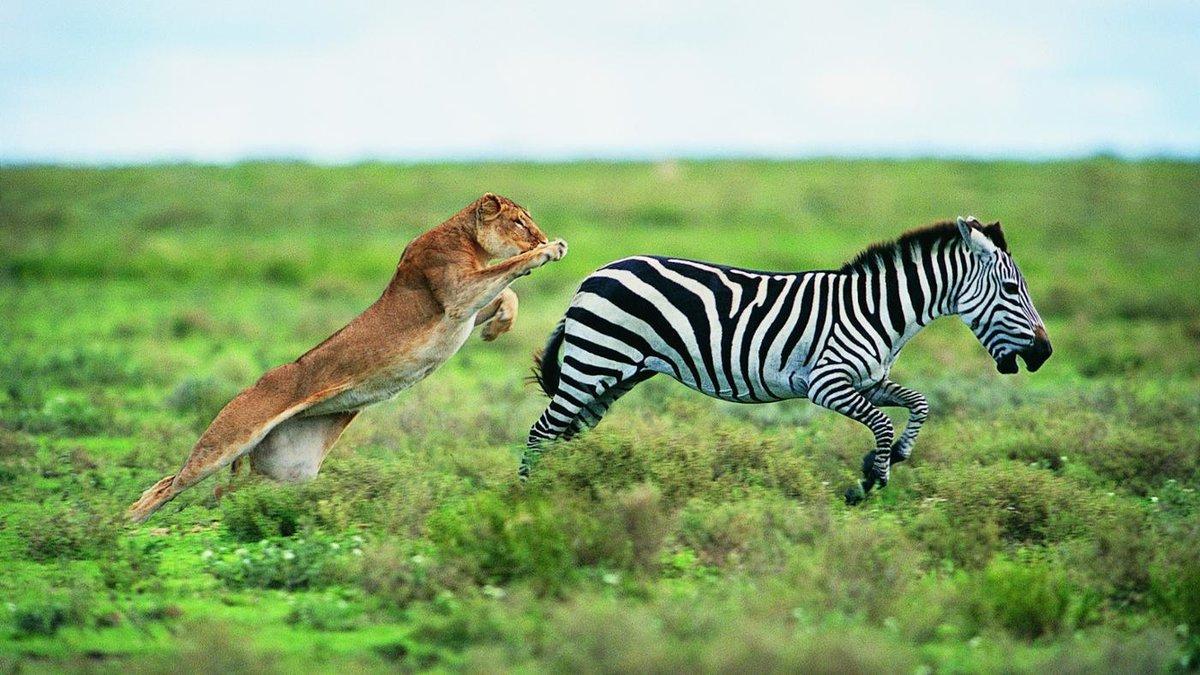 лев тигр зебра картинки