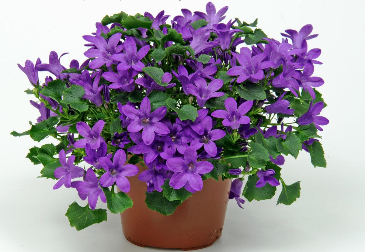 кампанелла цветок в картинках правильном уходе корочки