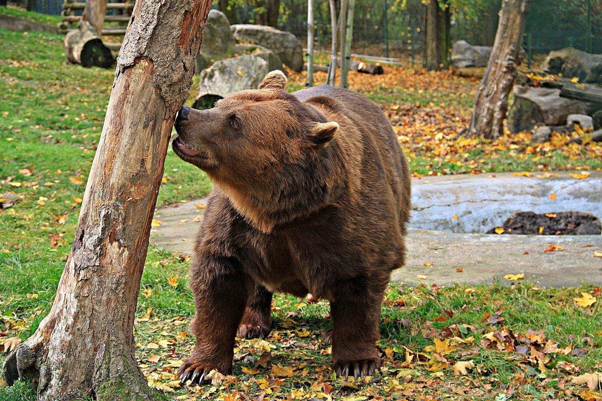 нем идущий медведь фото сегодняшних фото видим