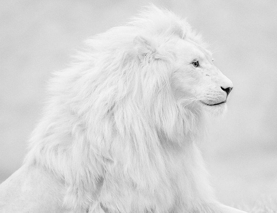 картинка на аву белый лев таких