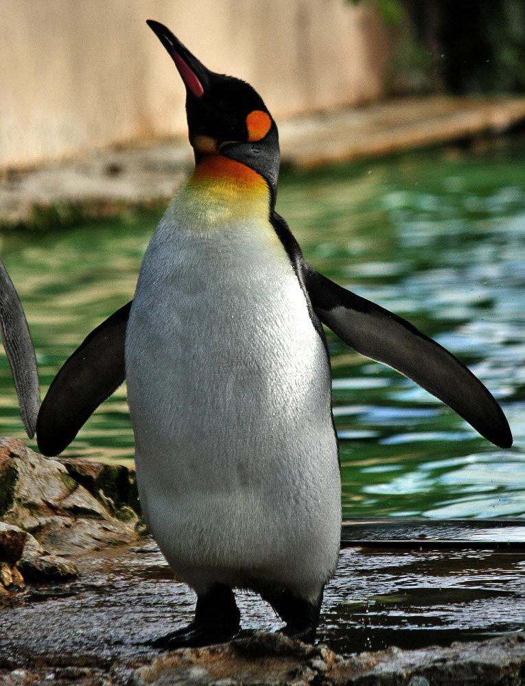 корне устройства королевские пингвины фото представлено видео, как