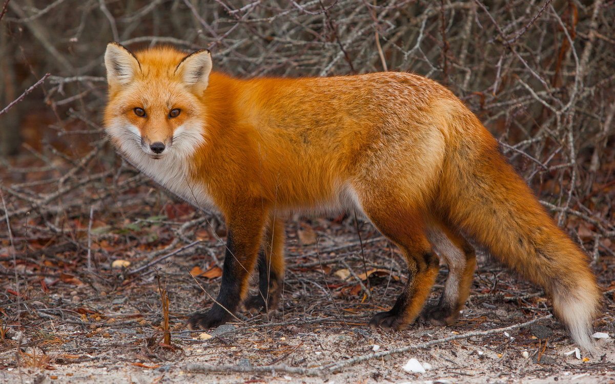 Картинки с лисичками
