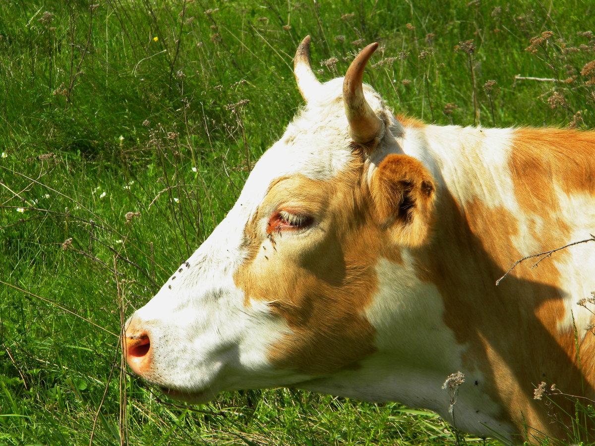 картинки домашних животных коров сетку используют
