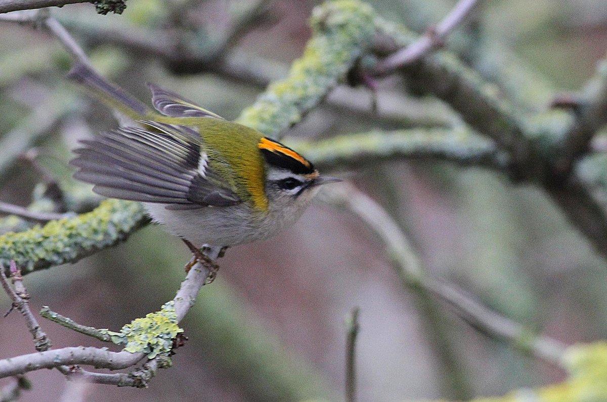 фото птицы королек крупным планом