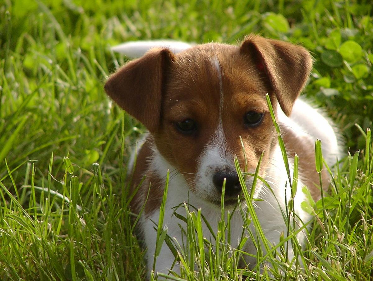 Смотреть картинки собак джек рассел терьер