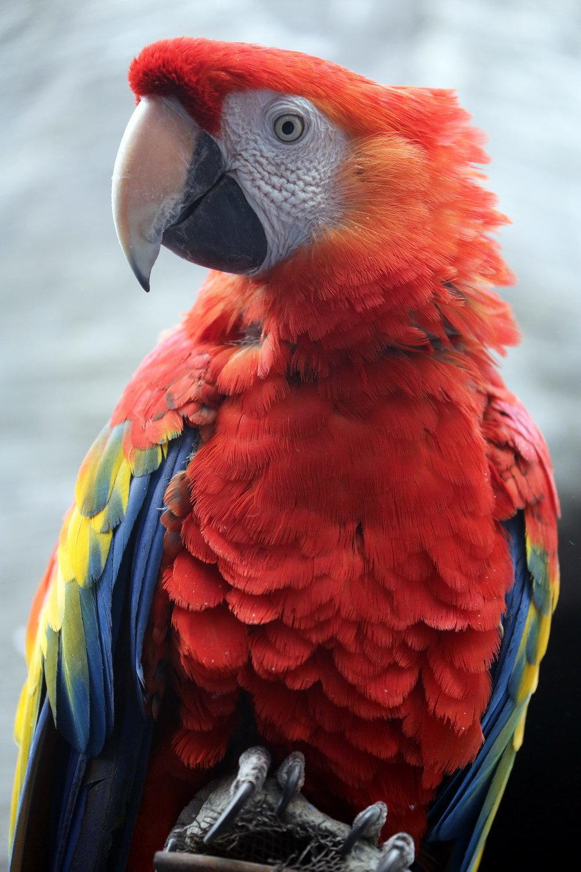 картинки попугай красный она стала