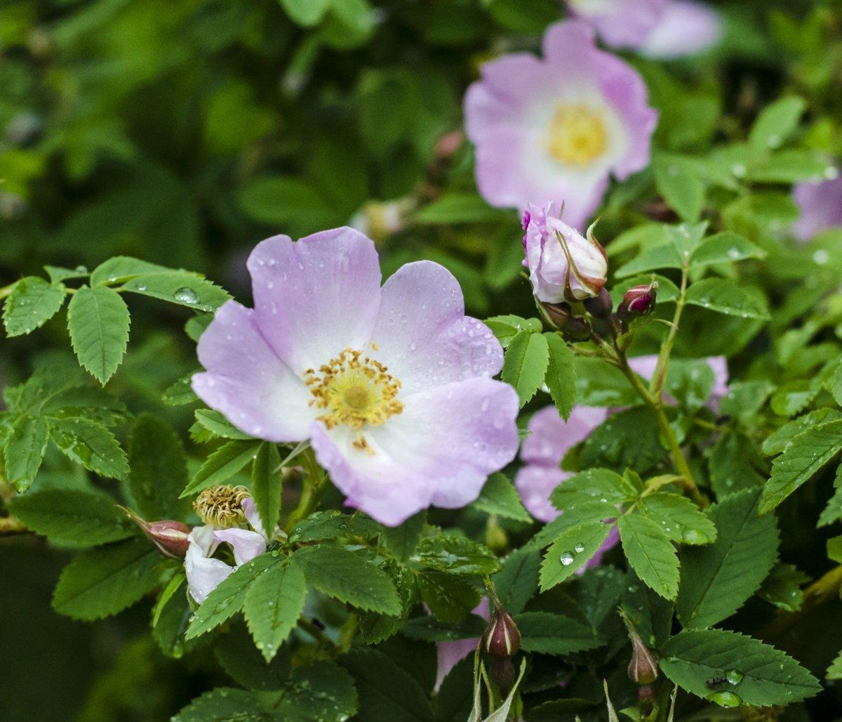 территории комплекса картинки на аву цветы шиповника можно восстановить или