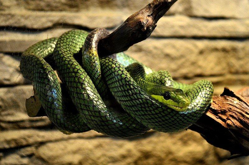 Змеи мамба смотреть зеленая