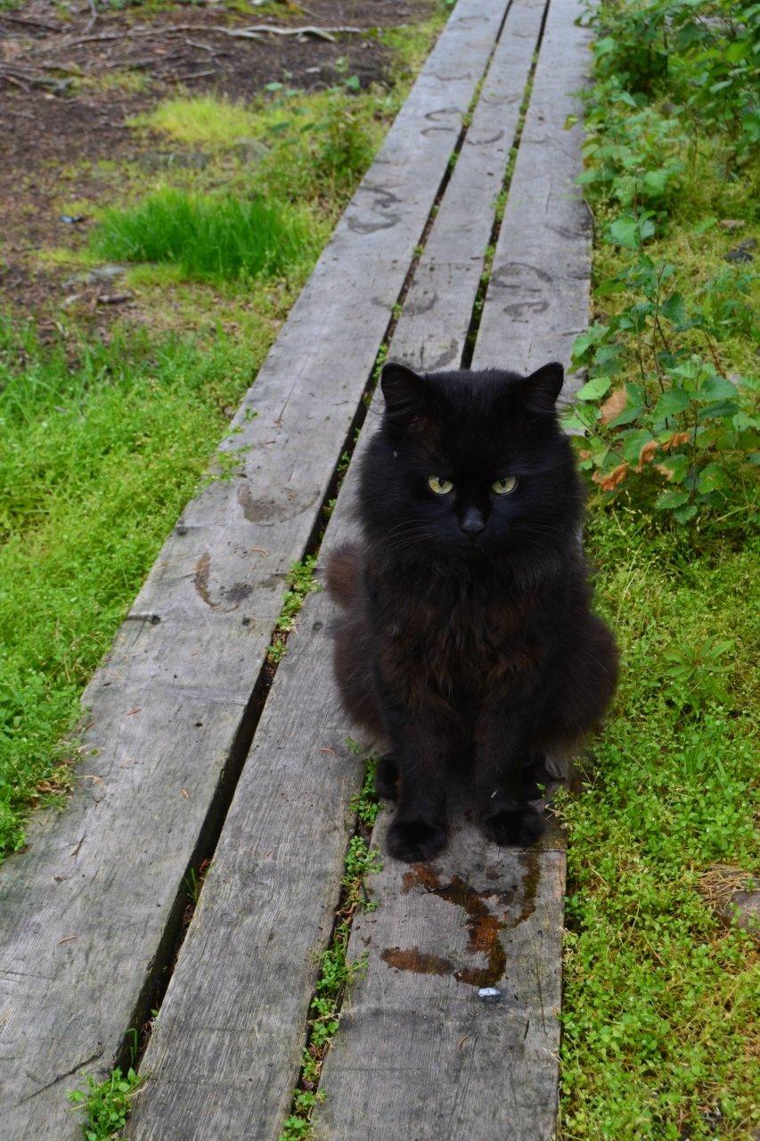 Хозяин тайги#заполярье #кот #кошки #лес #лето #мостки #природа #россия
