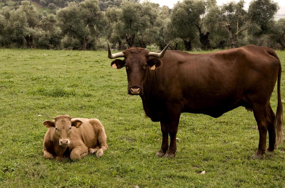Картинка коричневой коровы