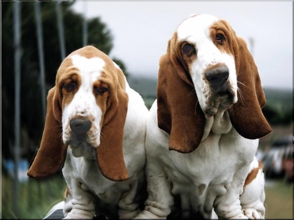 Породы собаки с длинными ушами в картинках