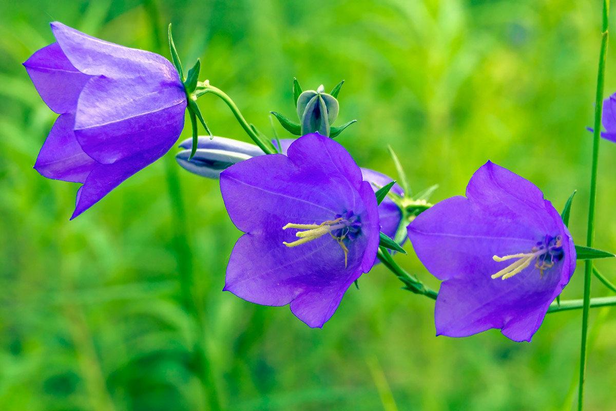 картинки про колокольчики цветы известно, обои животными