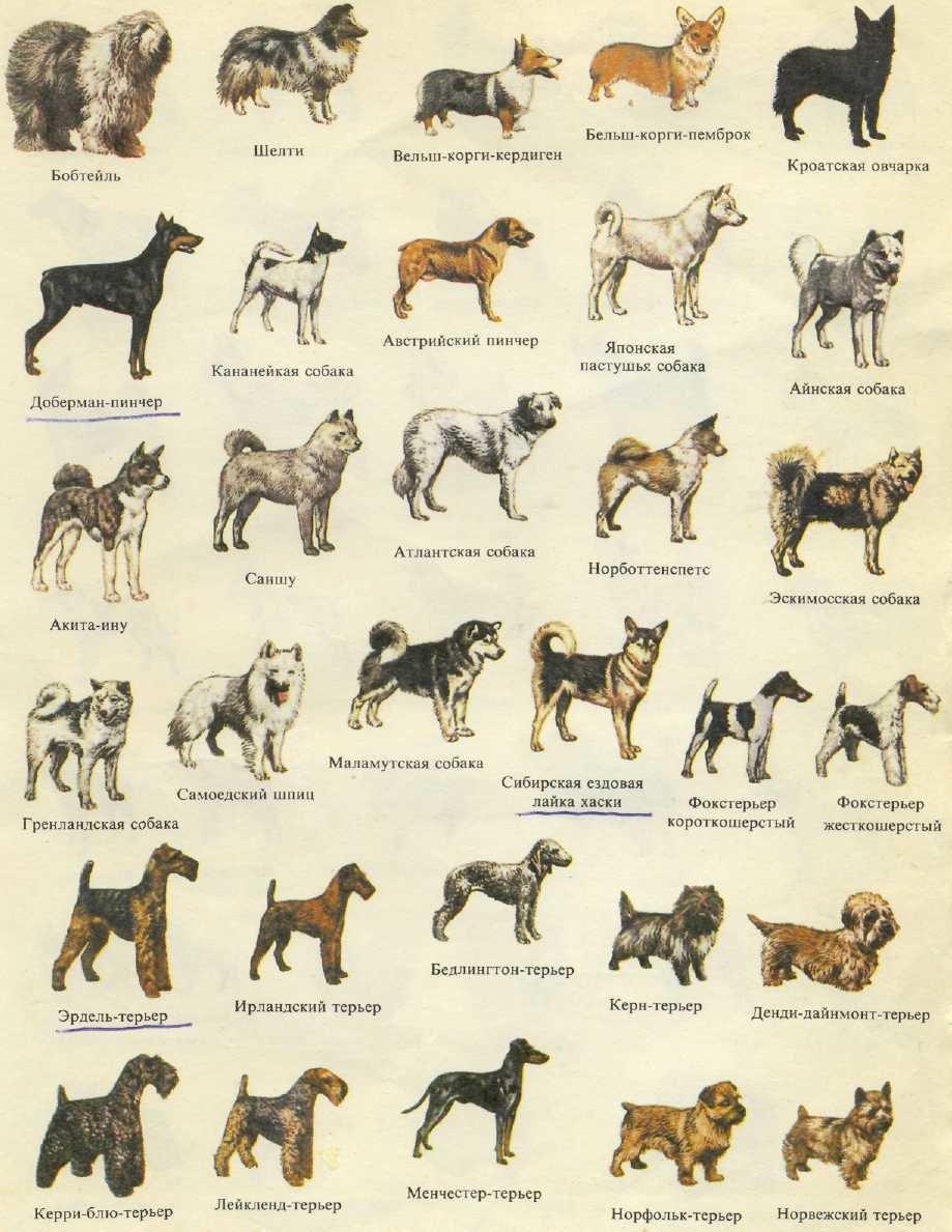 Породы собак в картинках и их характеристика