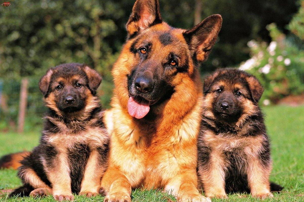 Вторая мировая война нанесла собаководству, как и всем другим областям жизни, огромный ущерб, однако некоторым заводчикам всё-таки удалось сохранить небольшое количество племенных собак.
