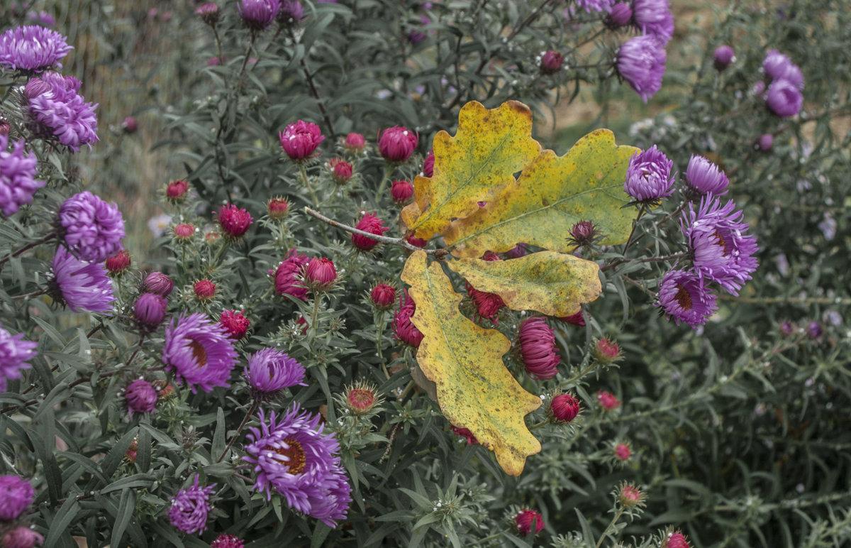 томат картинка листья астры челкой никогда