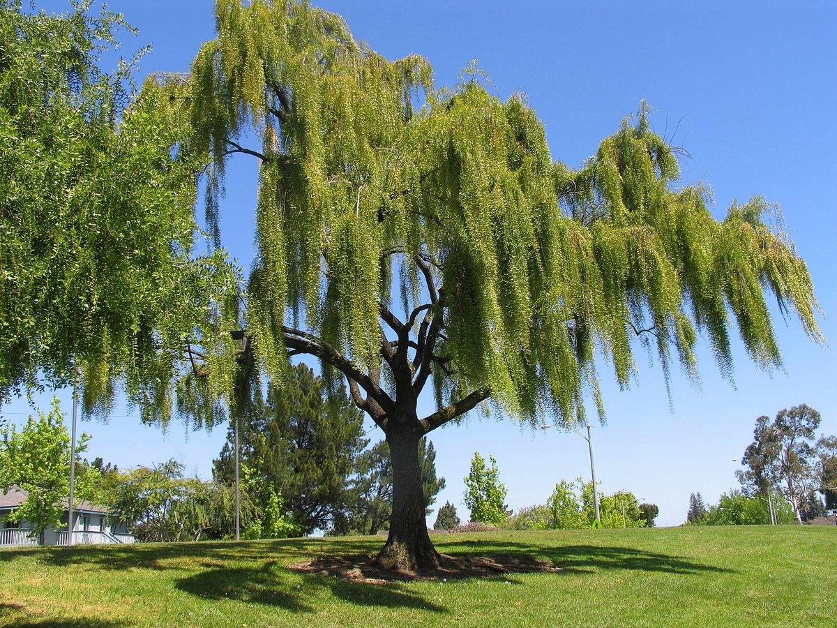 дерево ветла фото пня, который