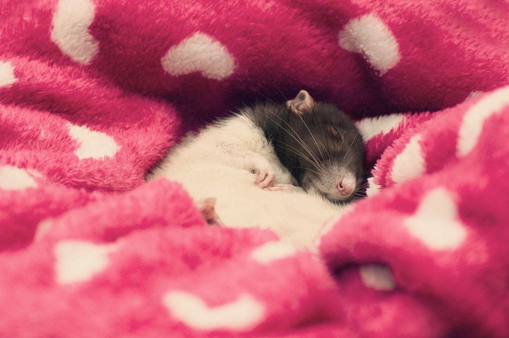 Стихи, картинки с крысой спокойной ночи