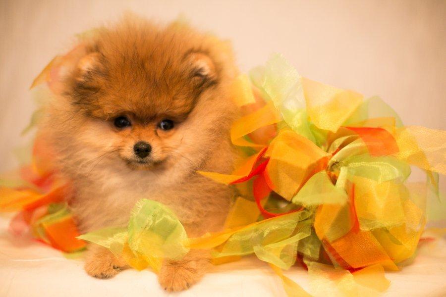 Открытках, открытка с днем рождения с собакой шпиц