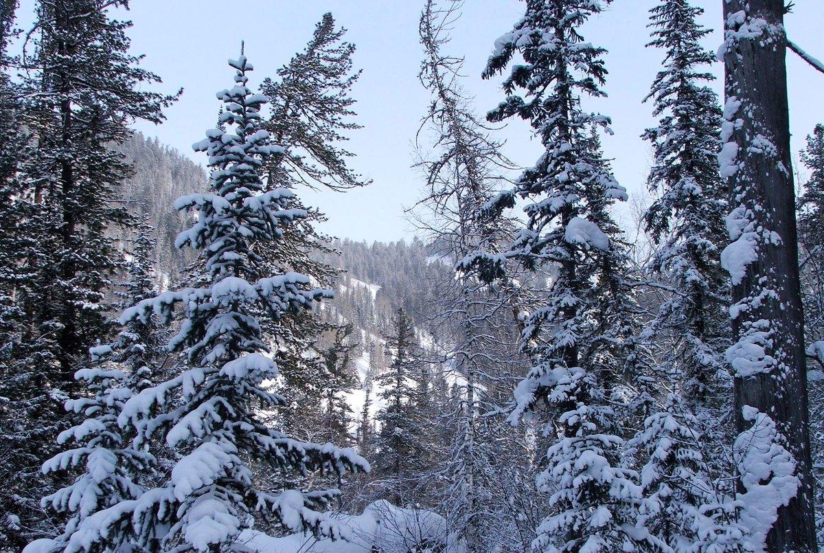 Обои на рабочий стол лес зима алтай ему показалось
