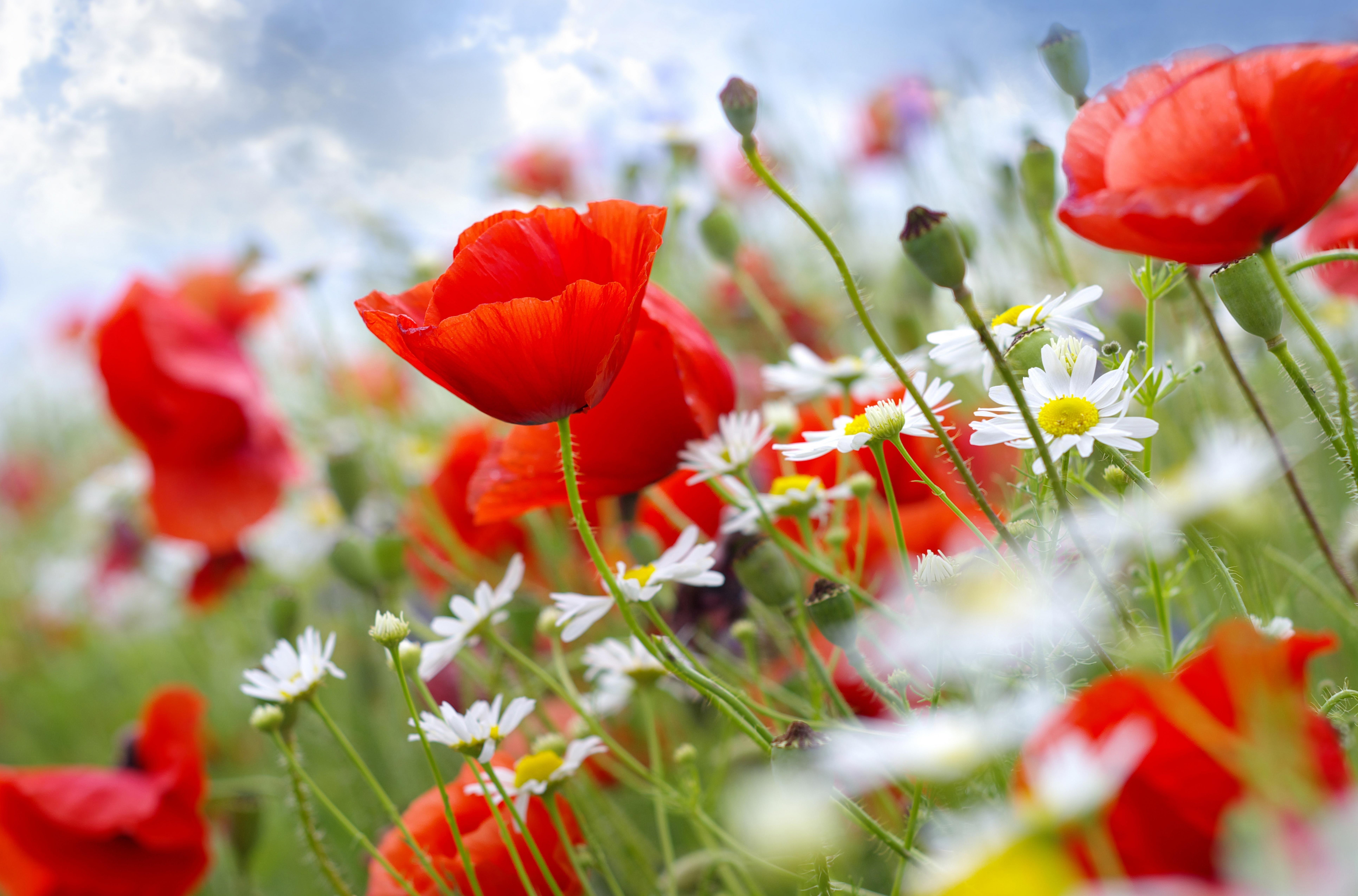 Обои цветы, природа, маки картинки на рабочий стол, раздел цветы ...   5099x7726