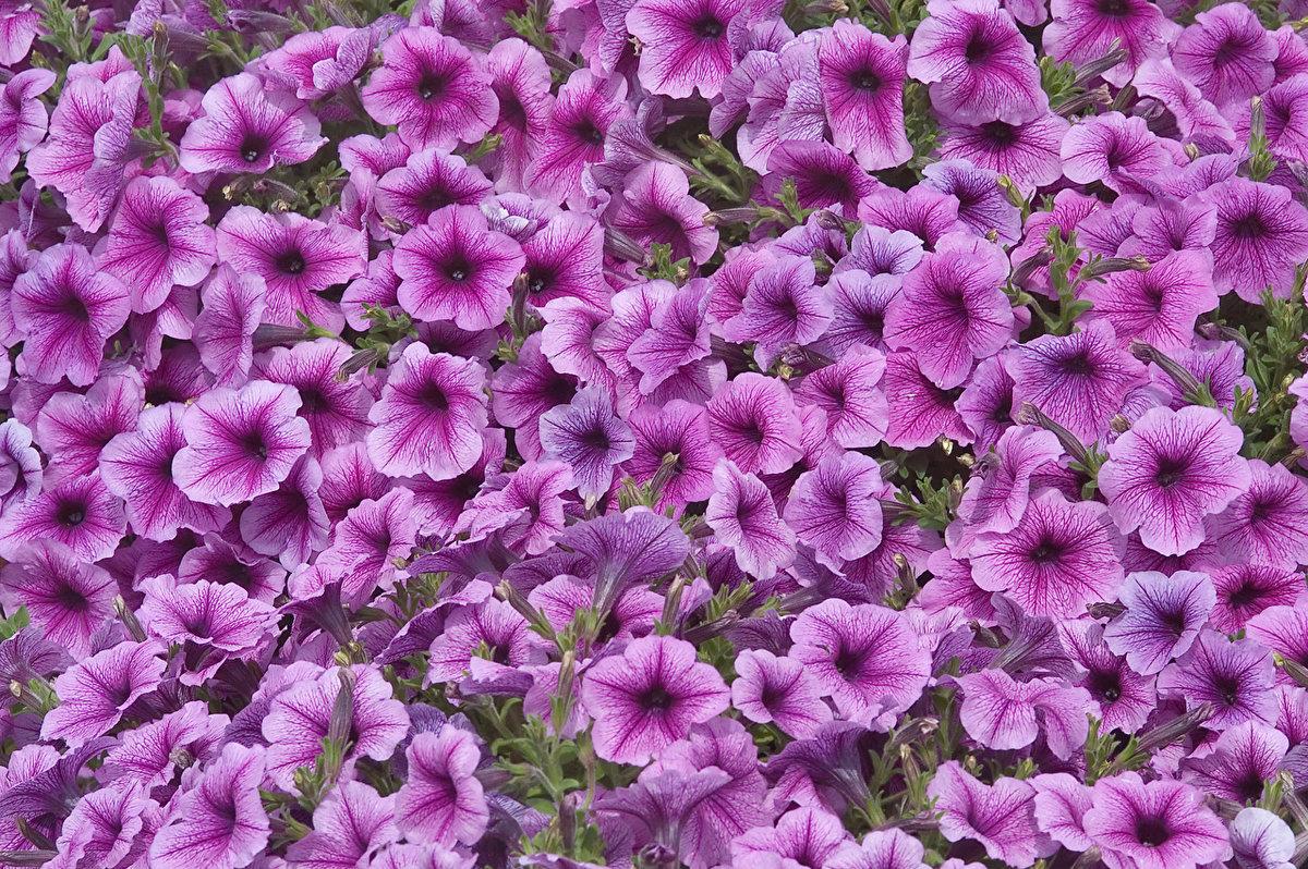 лиловая петуния фото моноблока