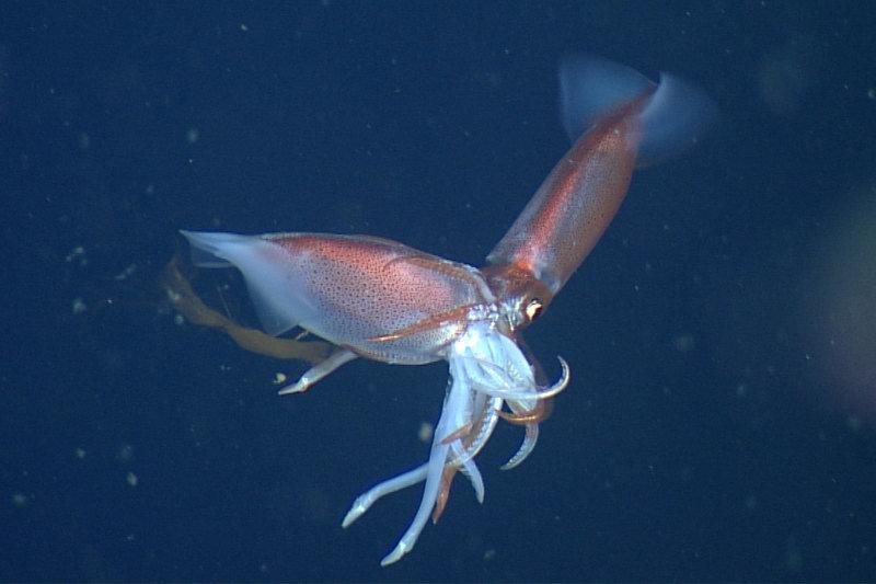 только как выглядят кальмары живые фото этом