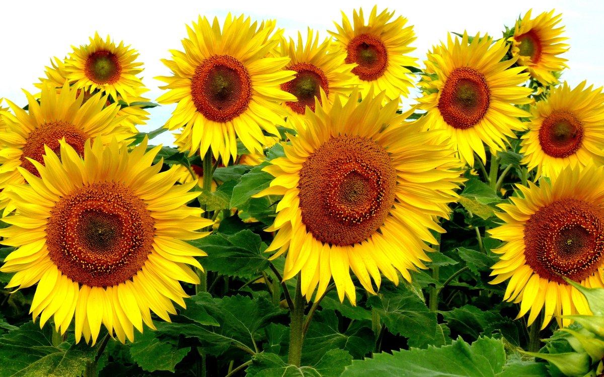 Фото цветы подсолнухи