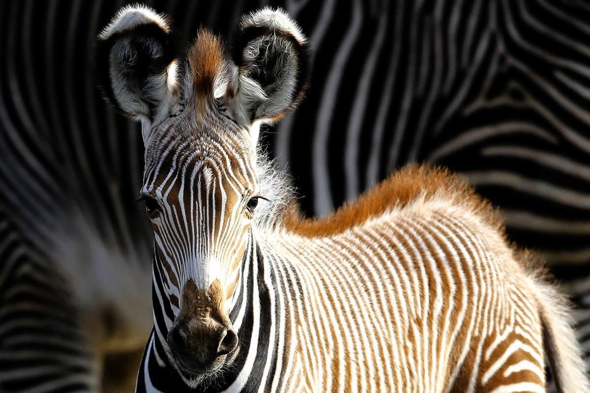 Картинки зебры красивые