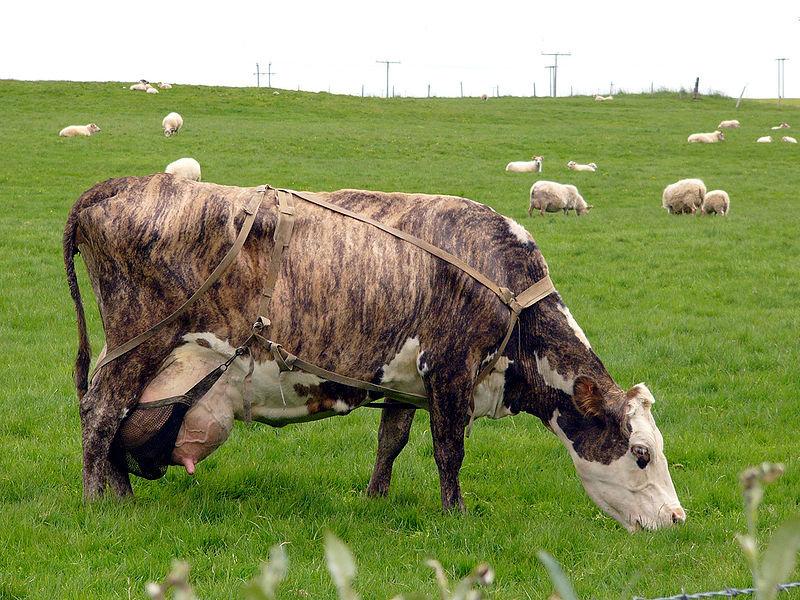 Старая корова фото