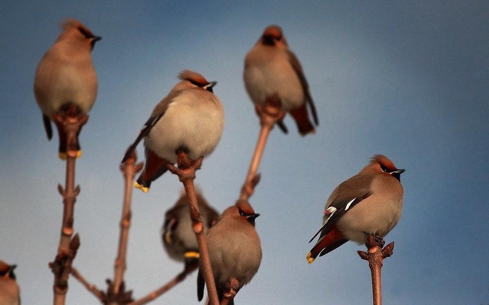 Птицы янао с хохолком
